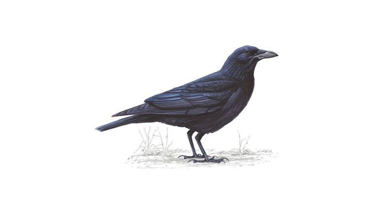 carrion-crow_1200x675